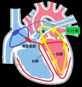 心臓の解剖生理